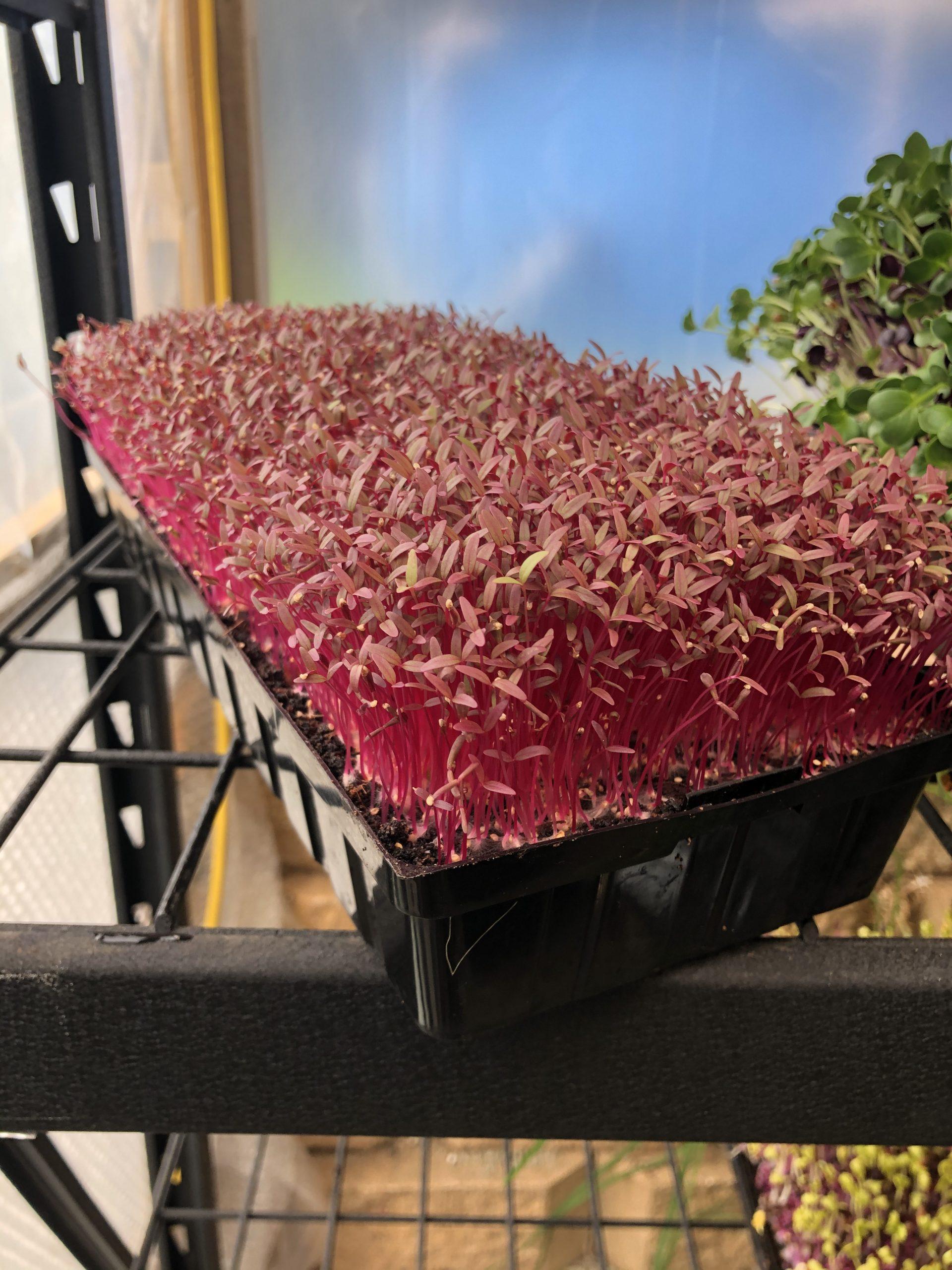 Red Amaranth Microgreens Tray (33cm x 15cm)